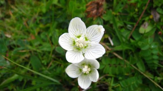 Parnassie des Marais - Parnassia Palustris