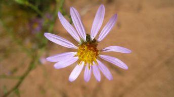 Purple Aster - Symphyotrichum Puniceum