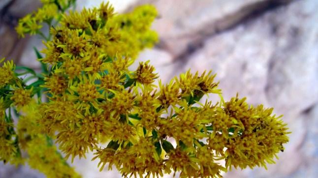 Meadow Goldenrod - Solidago
