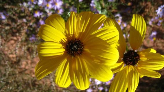 Brown-eyed Susan - Rudbeckia Triloba