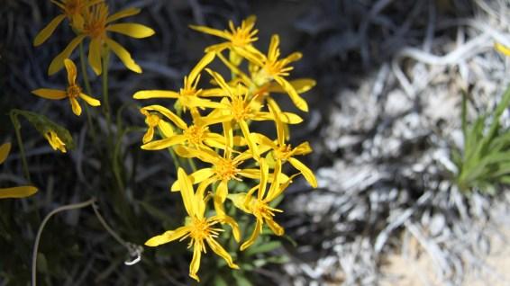 Stemless Goldenweed - Stenotus acaulis