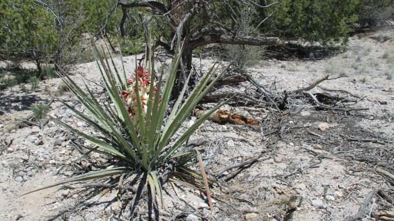 Yucca flower - Yucca