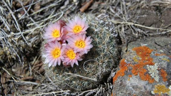 Simpson's Hedgehog Cactus - Pediocactus Simpsonii