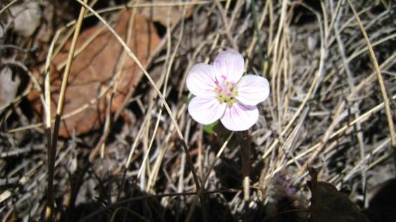 Spring Beauty - Claytonia Lanceolata