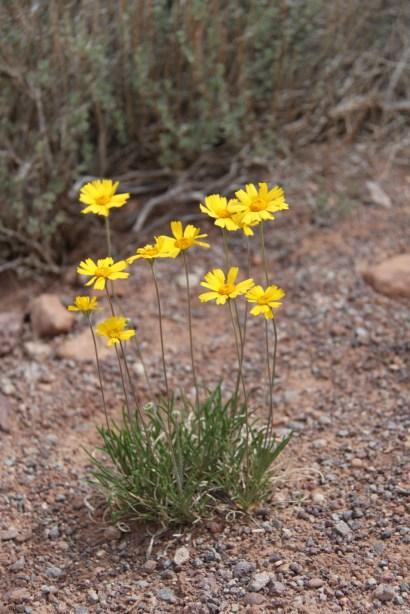 Stemless Woollybase - Asteraceae Hymenoxys Acaulis