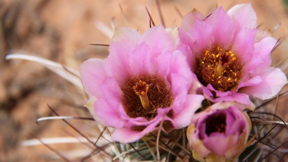Strawberry Hedgehog Cactus - Echinocereus Stramineus