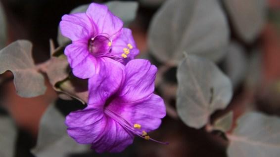Colorado Four O'Clock – Mirabilis Multiflora