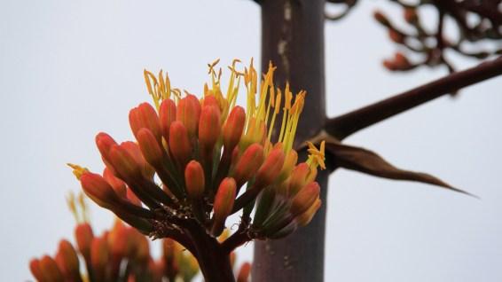 American Aloe - Agave Americana