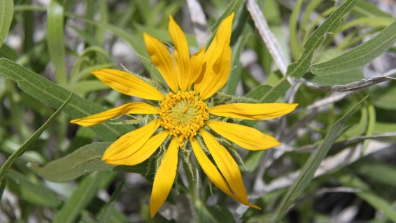 Five-nerved Sunflower - Helianthella Quinquenervis