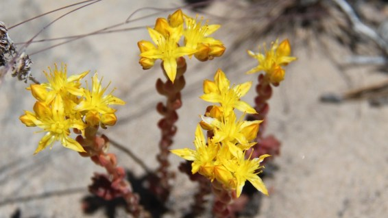 Stonecrop – Sedum Lanceolatum