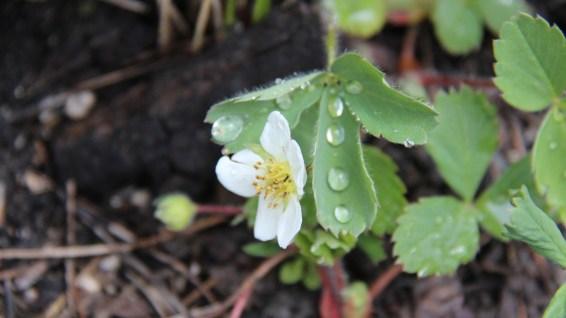 Wild Strawberry Flower - Fragaria