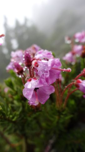 Mountain Heather - Phyllodoce Empetriformis