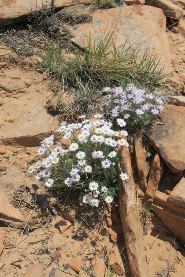White Aster - Symphyotrichum Ericoides