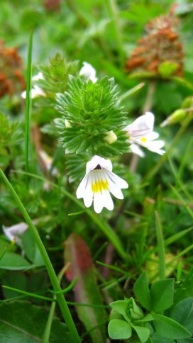 Euphraise Officinale - Euphrasia Officinale