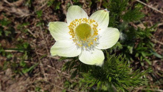 Western Pasque Flower - Pulsatilla occidentalis