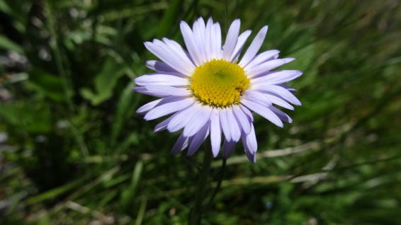 Alpine Aster - Aster Alpinus