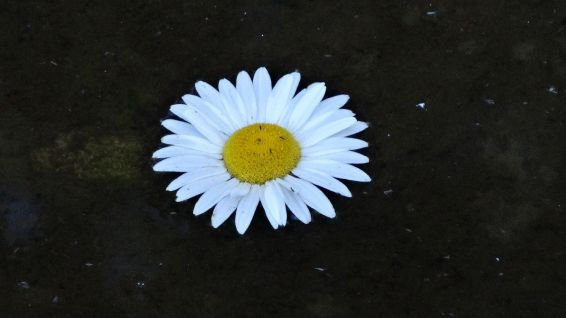 Common Daisy - Bellis perennis