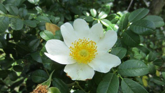 Cherokee Rose – Rosa Laevigata