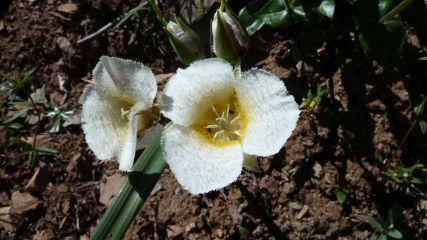 Cat's-ear Lily – Calochortus Subalpinus