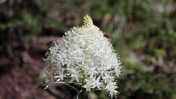 Bear Grass – Xerophyllum Tenax