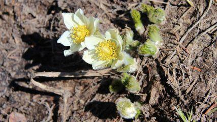 Western Pasque Flower – Pulsatilla Occidentalis