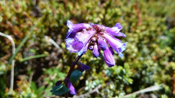 Cascades Penstemon – Penstemon Serrulatus