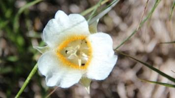 Cat's-ear Lily - Calochortus Subalpinus