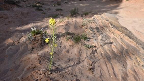 Western Wallflower - Erysimum Asperum