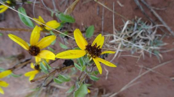 Common Sunflower – Helianthus Annuus
