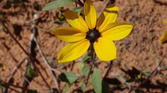 Common Sunflower - Helianthus Annuus
