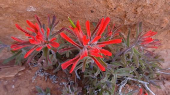 Desert Indian Paintbrush – Castilleja Chromosa