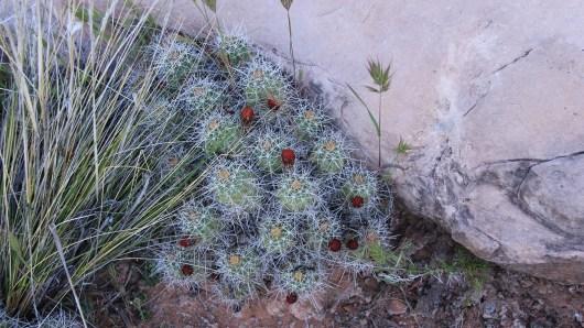 Claretcup Cactus – Echinocereus Triglochidiatus