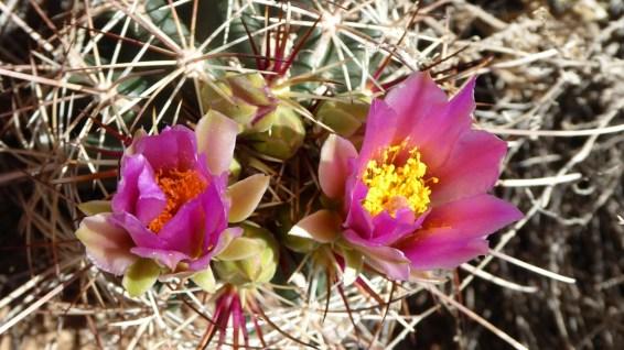 Fishhook Cactus - Mammillaria