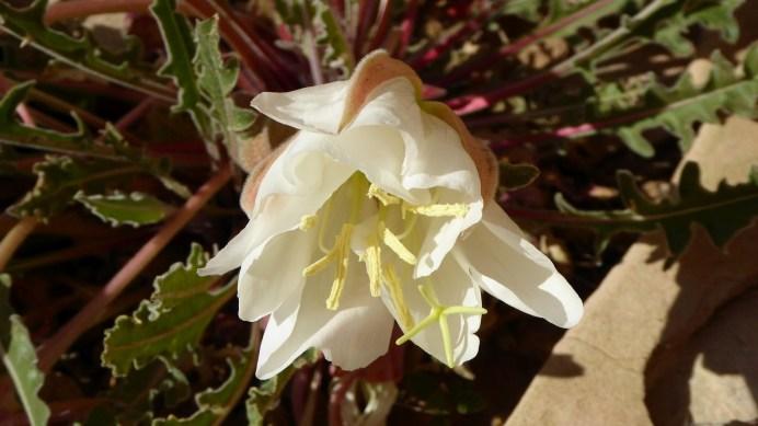 White-Stemmed Evening Primrose - Oenothera Albicaulis