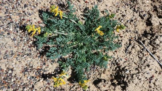 Golden Corydalis - Corydalis Aurea
