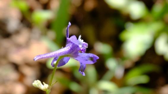 Prairie Larkspur - Delphinium Carolinianum