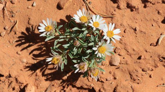Easter Daisy - Townsendia incana