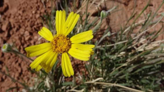 Stemless Woollybase – Asteraceae Hymenoxys Acaulis