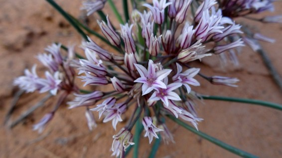 Prairie Wild Onion - Allium Textile
