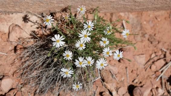 Roese Heath – Chaetopappa Ericoides