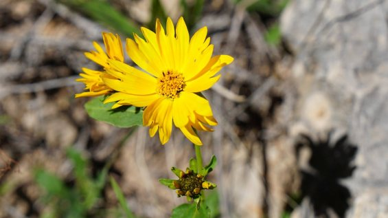 Bay Biscayne Creeping-Oxeye - Sphagneticola Trilobata