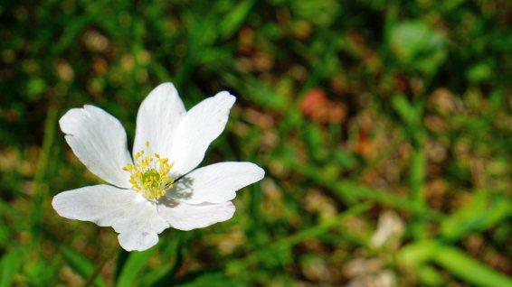Anémone des Bois - Anemone Nemorosa
