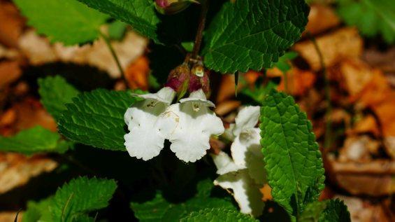 Mélitte à feuilles de mélisse - Melittis Melissophyllum