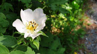 Fleur de Framboisier - Rubus Idaeus