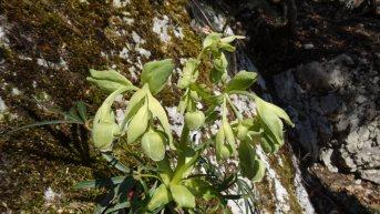 Hellébore Fétide - Helleborus Foetidus