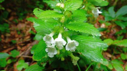 Mélitte à Feuille de Mélisse - Melittis Melissophyllum