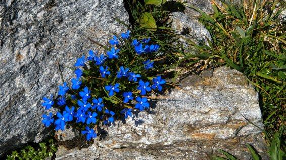 Gentiane à Feuilles courtes - Gentiana Brachyphylla
