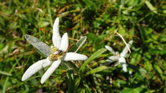 Edelweiss - Leontopodium Alpinum