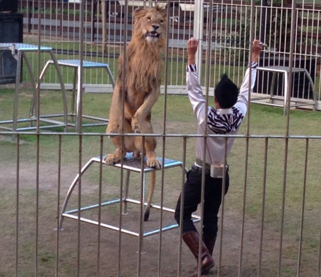 """Lion show at the Night Safari - """"Quick Trip to Chiang Mai Thailand"""" - Two Traveling Texans"""