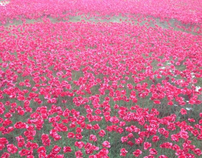 Poppies, poppies, and more poppies - 888,246 to be exact.